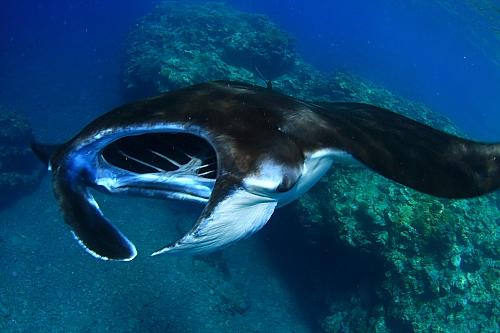 巨大オオテンジクザメに遭遇!!