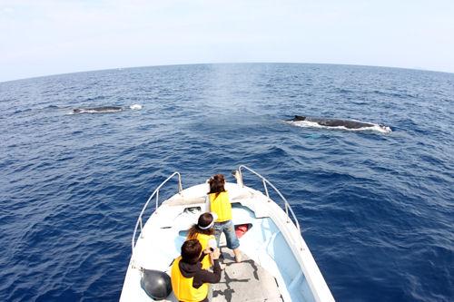 船の下でホバーリングするザトウクジラたちの競演!!